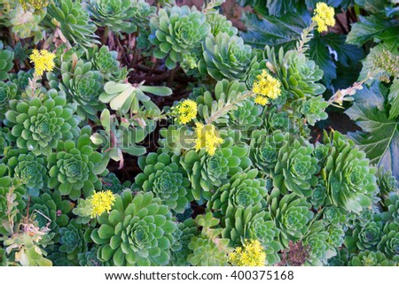 Southern California Hen and Chicks succulents covering ground with watery thick leaves and yellow flowers - stock photo