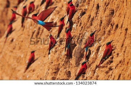 Southern Carmine Bee-eater Dancing in the Air in South Luangwa NR , Zambia - stock photo