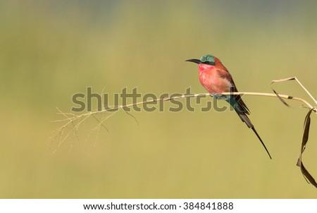 Southern Carmine Bee Eater in Chobe River in Botswana - stock photo