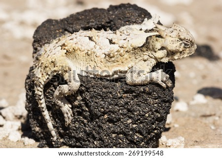 southern desert horned lizard or Phrynosoma platyrhinos calidiarum on a black lava rock in Death Valley National Park - stock photo
