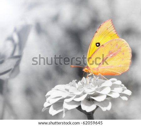 Southern Dogface butterfly, Colias cesonia, color spot on black and white - stock photo