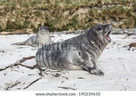 Southern Elephant Seal male pups roaring Mirounga leonina Falkland Islands - stock photo