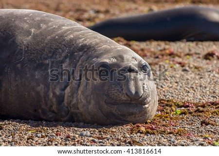 Southern Elephant Seal (Mirounga leonina). Chubut, Patagonia Argentina, South America. - stock photo