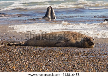 Southern Elephant Seal (Mirounga leonina) lying and looking at camera while other two play in the background. Chubut, Patagonia Argentina, South America. - stock photo