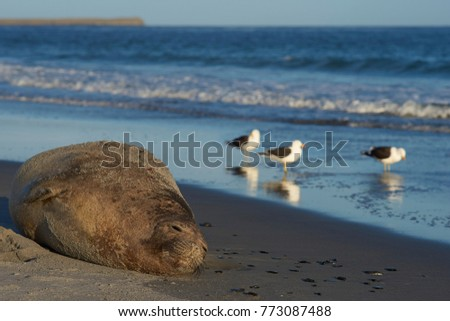 Southern Elephant Seal (Mirounga leonina) lying on a sandy beach on Sea Lion Island in the Falkland Islands.