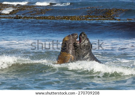Southern elephant seals fighting on the coast near Falkland islands - stock photo