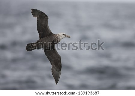 Southern Giant-Petrel (Macronectes giganteus), adult in flight in the Scotia Sea.