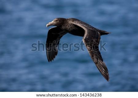 Southern Giant-Petrel (Macronectes giganteus), juvenile in flight over Steeple Jason Island in the Falklands. - stock photo