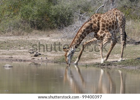 Southern Giraffe (Giraffa camelopardalis) drinking from a natural pan, South Africa