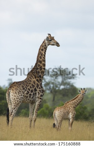 Southern Giraffe mother and baby in South Africa's Mala Mala Game Reserve - stock photo