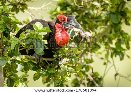 Southern Ground Hornbill collecting food for chicks - stock photo