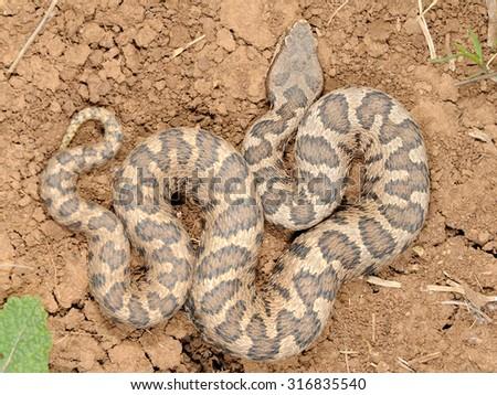 Southern italian asp  (Vipera aspis hugyi) male pattern - stock photo