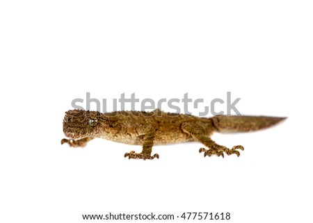 Southern leaf-tailed gecko on white