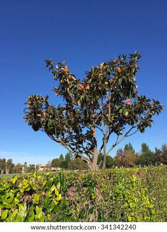 Southern Magnolia, native of American South East, also known as Magnolia Grandiflora growing in Southern California coastal cities with humid and temperate climate, Ventura County. - stock photo