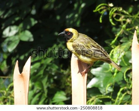Southern masked weaver (Male) - stock photo