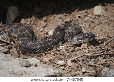 Southern pacific rattlesnake - stock photo