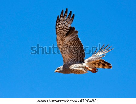 Southern Pale Chanting Goshawk flying against a blue sky, hunting for prey