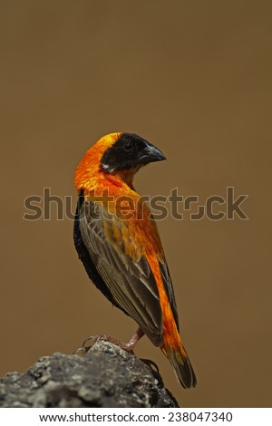 Southern Red Bishop perched on rock; Euplectes orix - stock photo