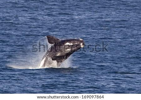 Southern right whale (Eubalaena australis) breaching - stock photo