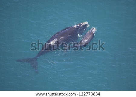 Southern right whale mother and calf, South Africa