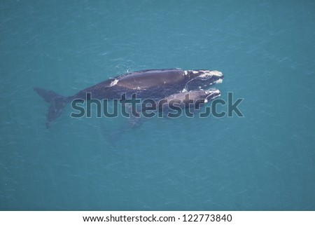 Southern right whale mother and calf, South Africa - stock photo