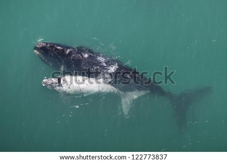Southern right whale mother and white calf, South Africa