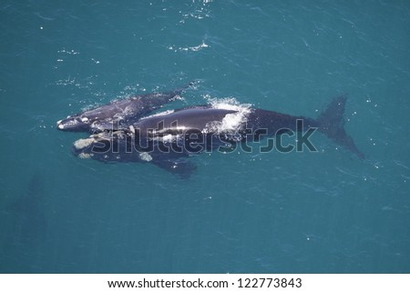 Southern right whale mother calf, South Africa