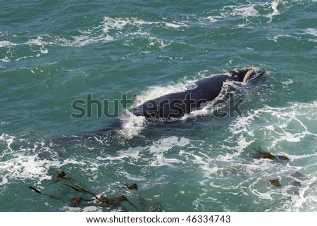 Southern Right whale off the coast of Hermanus; South Africa - stock photo