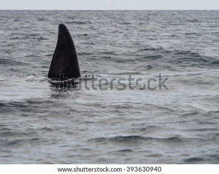 Southern Right Whale, seen at Purto Pyramides, Patagonia, Argentina.