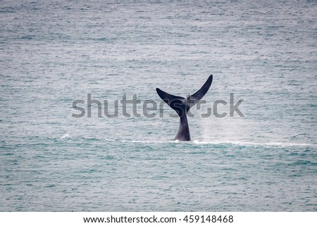 Southern Right Whale tail at Logan's Beach Whale Nursery in Warrnambool, Victoria, Australia