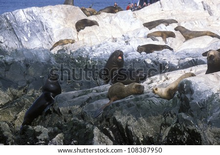 Southern sea lions on Rocks near Beagle Channel and Bridges Islands, Ushuaia, southern Argentina - stock photo