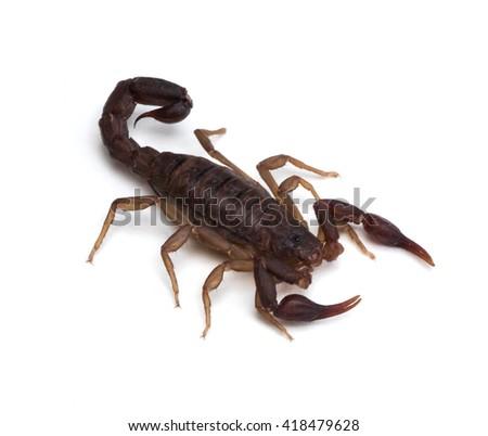 Southern Unstriped Scorpion (Vaejovis carolinianus) on a white background - stock photo
