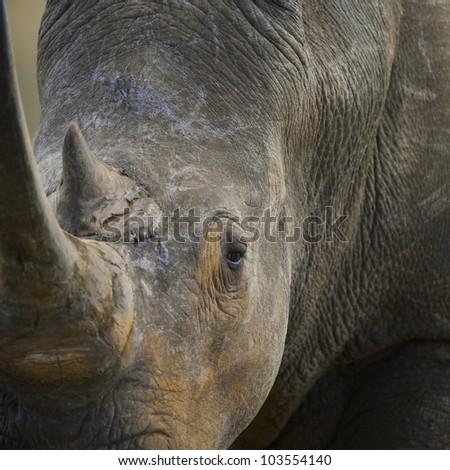 Southern White Rhinoceros (Ceratotherium simum simum), Hluhluwe Imfolozi Park, KwaZulu-Natal, South Africa. Near threatened. - stock photo
