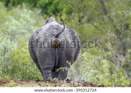 Southern white rhinoceros in Kruger national park, South Africa ; Specie Ceratotherium simum simum family of Rhinocerotidae - stock photo