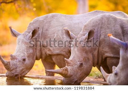 Southern white rhinoceroses (Ceratotherium simum simum) at watering hole - stock photo