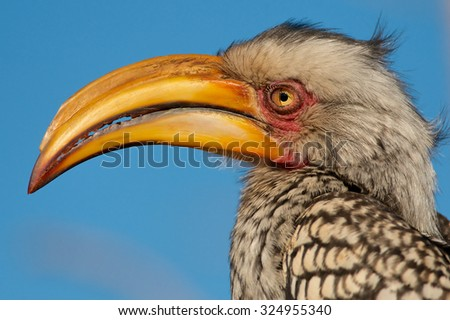 Southern Yellow-billed hornbill, Kruger National Park, South Africa. - stock photo