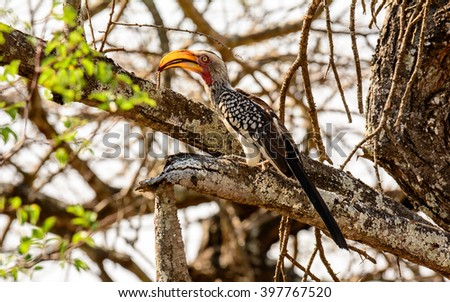Southern Yellow billed Hornbill with a caterpillar in its beak