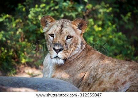 Southwest African Lion