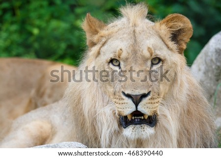 Southwest African lion (Panthera leo bleyenbergi) male king of beasts sits and observes the surroundings
