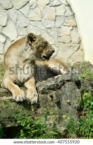 Southwest African lion resting. - stock photo