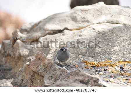 Southwest USA Beautiful Dark-eyed Junco  is a medium-sized sparrow with a rounded head a short, stout bill and a fairly long, conspicuous tail.