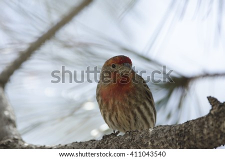 Southwest USA Beautiful House Finches male have a orange red head and girls are all brown