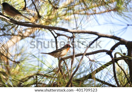 Southwest USA Beautiful Red Male House Bright orange red on forehead, throat, and breast Brown back and wings Thick brown streaking thick grayish bill,shallow notch in its tail.
