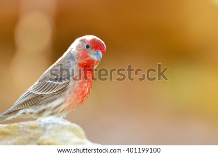 Southwest USA Beautiful Red Male House Finches Red Male are small finches the wings are short, making the tail seem long. Bright orang red on forehead, throat, and breast Brown back and wings