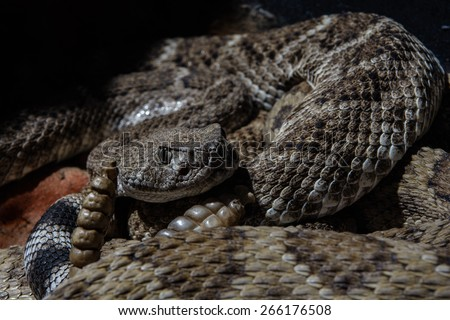 Southwestern Speckled Rattlesnake - Crotalus mitchellii pyrrhus curled up and ready to strike - stock photo