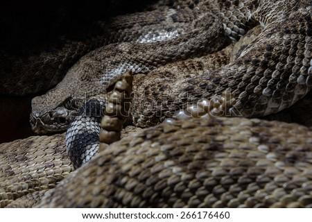 Southwestern Speckled Rattlesnake - Crotalus mitchellii pyrrhus head hiding behing rattle - stock photo