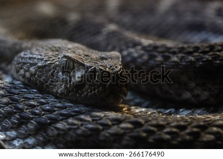 Southwestern Speckled Rattlesnake - Crotalus mitchellii pyrrhus macro curled up looking at camera - stock photo