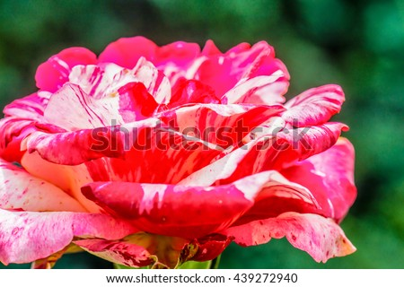 Soutine Rose or Red and White Rose in Garden, Thailand.