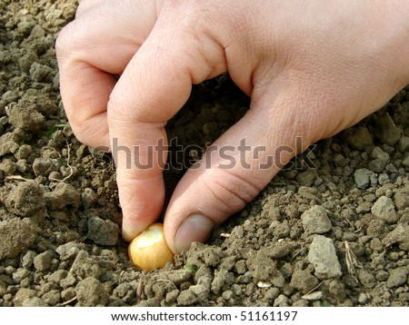 sowing onion into the ground - stock photo