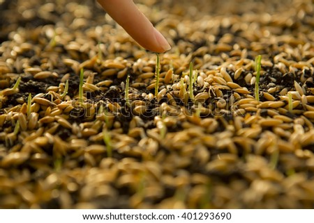 Sowing Wheat Crop. Wheat Green Seeds, a Raw Food Diet. Hand Touching young shoot. Germination of Wheat at home, Growing and Agriculture. Spring landing. Healthy Vegetarian Food. Spraying the ground  - stock photo